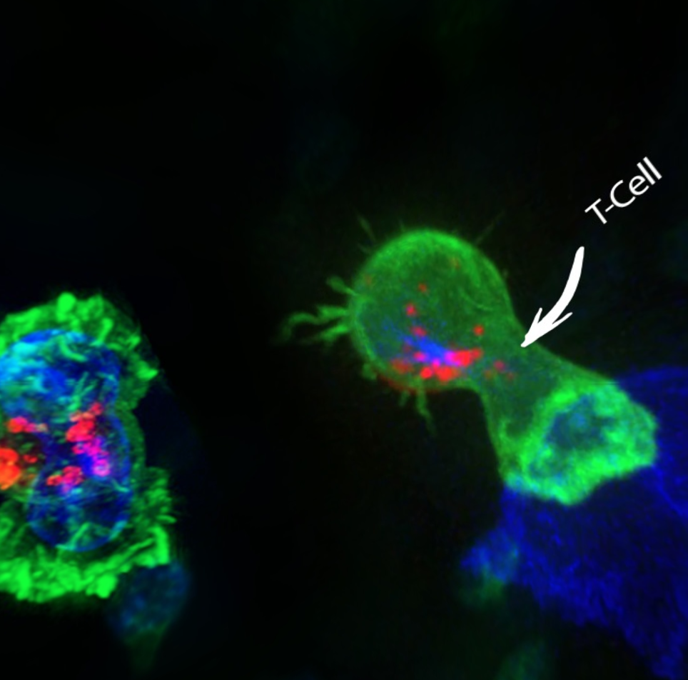 T-cell ozone virus bacteria cancer
